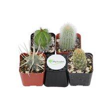 4 Pack Cactus Desk Top Plant in Pot