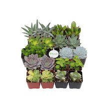 20 Pack Assorted Succulent Desk Top Plant in Pot