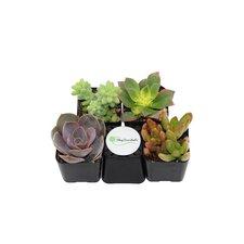 4 Pack Unique Succulent Desk Top Plant in Pot