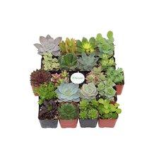 20 Pack Unique Succulent Desk Top Plant in Pot