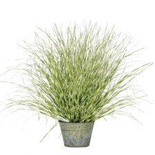 Zebra Grass in Pot