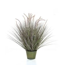 Dogtail Grass in Pot