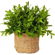 French Market Myrtle Plant in Burlap Pot (Set of 3)
