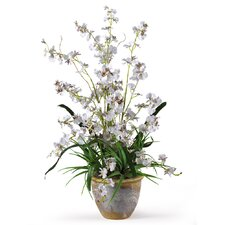 Dancing Lady Orchid Flowers in White
