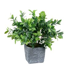 Frosted Tip Foliage Plant in Pot