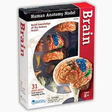 Model Brain Anatomy