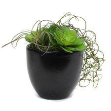Succulent Mix in Pot